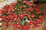 Photo House Plants Christmas Cactus (Schlumbergera), red