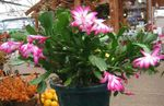 Photo Christmas Cactus characteristics