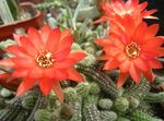 Photo House Plants Thistle Globe, Torch Cactus (Echinopsis), red