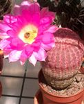 Photo House Plants Hedgehog Cactus, Lace Cactus, Rainbow Cactus (Echinocereus), pink