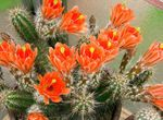 Photo House Plants Hedgehog Cactus, Lace Cactus, Rainbow Cactus (Echinocereus), orange