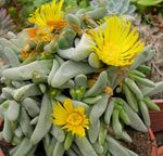 Photo Glottiphyllum characteristics