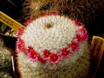 Photo House Plants Old lady cactus, Mammillaria , red