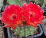 Photo House Plants Ball Cactus (Notocactus), red