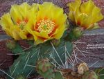 Photo House Plants Prickly Pear desert cactus (Opuntia), yellow