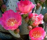 Photo Prickly Pear characteristics